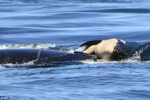 Con chết, cá voi mẹ nhất quyết không rời bỏ cực đau lòng