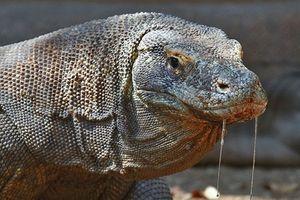 Hình ảnh về rồng Komodo có nọc độc kinh khiếp