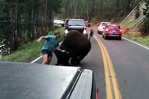 Chọc giận bò bison khổng lồ Mỹ, chàng trai suýt nhận 'trái đắng'