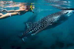 Trải nghiệm bơi cùng cá mập voi ở Philippines