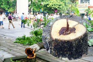 Nhóm sưa tặc lợi dụng mưa gió đốn hạ cây có thể bị xử 20 năm tù