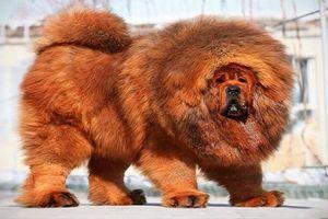 Không chỉ ngao Tây Tạng, những giống chó này cũng nguy hiểm chết người