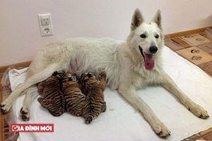 Kỳ lạ chó mẹ nhận nuôi 3 chú hổ con sau khi bị hổ mẹ bỏ rơi