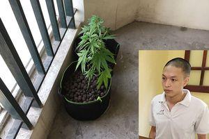 Hà Nội: Phát hiện đối tượng trồng cần sa tại chung cư