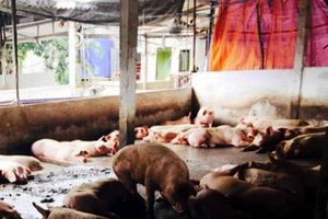 6 tháng nhập hơn 100.000 tấn thịt lợn và thịt gà với giá rất rẻ