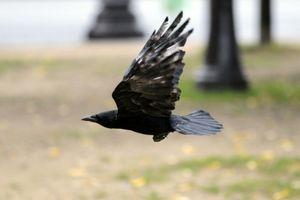 Pháp sử dụng quạ để thu gom rác thải vụn trong công viên