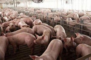 Giá heo hơi hôm nay 12/8: Thương lái mua liên tục, giá lợn hơi sẽ còn cao?