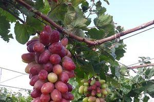 'Thủ phủ' nho Ninh Thuận có thêm một giống nho mới chất lượng cao