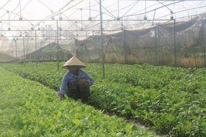 Hiệu quả từ chính sách hỗ trợ sản xuất rau an toàn tập trung