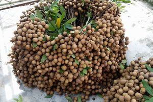 3.000 đồng/kg, người trồng nhãn Hưng Yên chán, bỏ thu hoạch
