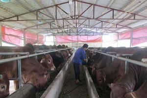 Bí quyết vỗ béo bò