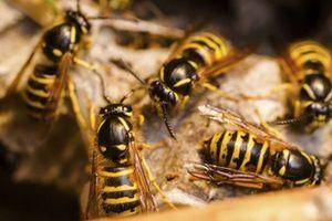 Bị ong vò vẽ tấn công, 2 người tử vong, 3 người nguy kịch