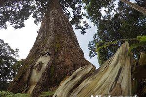 Chiêm ngưỡng 'vương quốc' cây pơmu cổ thụ gần 2.000 năm tuổi