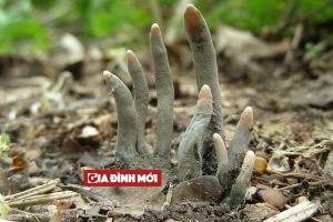Nấm 'bàn tay' chứa kịch độc, trồi lên từ đất như những thây ma