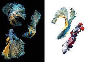 Ảnh đẹp đến mê hoặc của những chú cá chọi Thái Lan trên iPhone