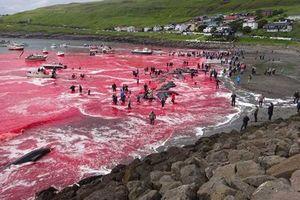 Biển đỏ màu máu, 180 con cá voi bị giết gây sốc