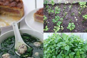 Học ngay cách trồng rau ngót Nhật bổ dưỡng cực đơn giản tại nhà, tha hồ thu hoạch mỏi tay
