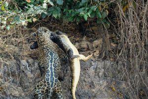 Báo đốm nhảy sông giết chết cá sấu trong chưa đầy 30 giây
