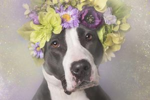 Ngoài vẻ hung dữ, chó Pitbull còn vẻ đẹp không ngờ này