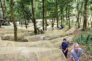Vườn sâm 'khủng' trên đỉnh Ngọc Linh