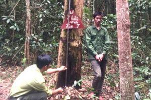 Kon Tum: Leo tường rào vào rừng đặc dụng trộm gỗ