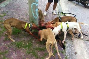 Chó Pitbull hung dữ cắn xé đồng loại đẫm máu
