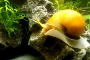 Khám phá loài ốc vàng tuyệt đẹp đang khiến dân chơi Việt mê mẩn