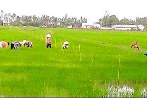 Vĩnh Thuận, Kiên Giang: Hiệu quả của tái cơ cấu sản xuất nông nghiệp