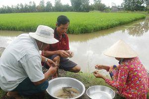 Tôm – Lúa: Mô hình sản xuất hiệu quả và bền vững