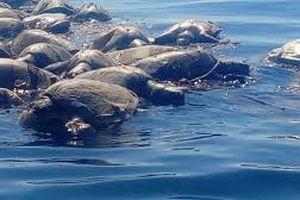 Hàng trăm con rùa biển quý hiếm chết bí ẩn