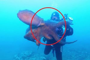 Clip: Bạch tuộc khổng lồ tấn công, đòi cướp đồ của thợ lặn