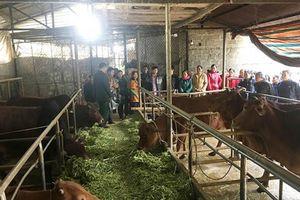 Làm giàu từ trồng cỏ nuôi bò vỗ béo