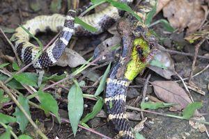 Nuốt chửng rắn lục đuôi đỏ xong, rắn độc chết thảm