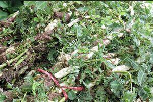Khám phá bất ngờ về rau rút quen thuộc ở Việt Nam