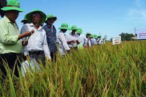 Thử nghiệm giống lúa thuần TBR-1 tại Quảng Ngãi