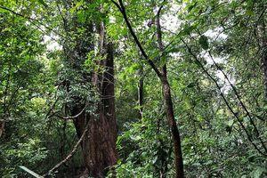 Cây gõ Bác Đồng ở Vườn Quốc gia Cát Tiên