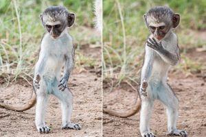 Thích thú khỉ nhỏ thực hiện động tác kungfu như võ sư