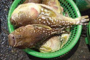 5 ngư dân nguy kịch vì nhậu cá nóc vừa đánh bắt