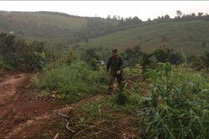 Đắk Nông: Phát hiện nhiều sai phạm tại dự án nông lâm nghiệp của Công ty Long Sơn