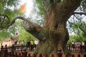 Ngắm cây Dã Hương gần ngàn năm tuổi, lớn nhất thế giới ở Bắc Giang