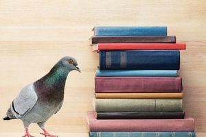 Chim bồ câu có thể giết người?