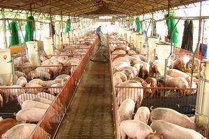 Dịch tả lợn Châu Phi: Mối nguy từ hoạt động nhập khẩu thịt lợn và du lịch