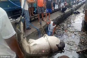 Hãi hùng cảnh lôi xác cá nhám voi ra khỏi vùng ngập rác