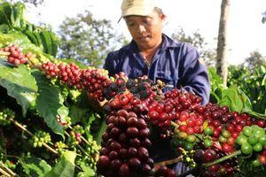 Giá cà phê hôm nay 13/9: Tăng trở lại sau những ngày ảm đạm
