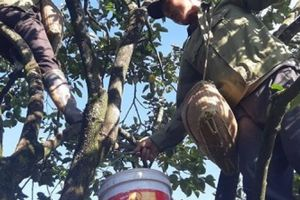 Clip: Cây hồng giòn khổng lồ ở Mộc Châu, năm nào cũng cho 3 tạ quả