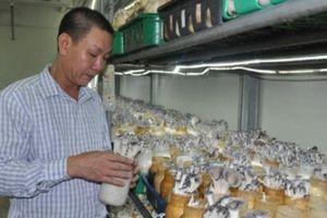 Cận cảnh 'đại bản doanh' sản xuất nấm Hàn Quốc quy mô lớn ở Thủ đô