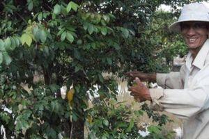 Long An: Vườn khế kiểng bán trái quanh năm, hay được lên phim
