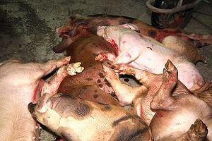Hàng tấn thịt lợn bệnh chuẩn bị tung ra thị trường