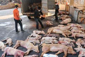 Ngành nông nghiệp 'lên dây cót' phòng dịch tả lợn châu Phi