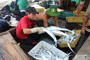 Ngư dân Nghệ An trúng hàng chục tấn cá hố xuất khẩu